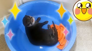 【カワウソビンゴの要求】お主ちょっとコチラに水を入れてはくれぬか?(Otter Bingo:Fill up the tub please...) thumbnail