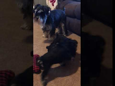 PuppyFinder.com : AKC Mini Schnauzer Puppies