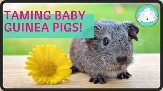 Taming Baby Guinea Pigs Step By Step! | Squeak Dreams