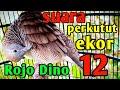 Perkutut Lokal Gacor Katuranggan Rojo Dino Ekor   Mp3 - Mp4 Download