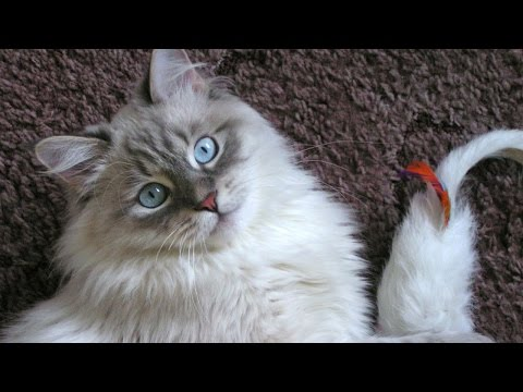 Вопрос: В чем отличие кошки регдолл от невской маскарадной?