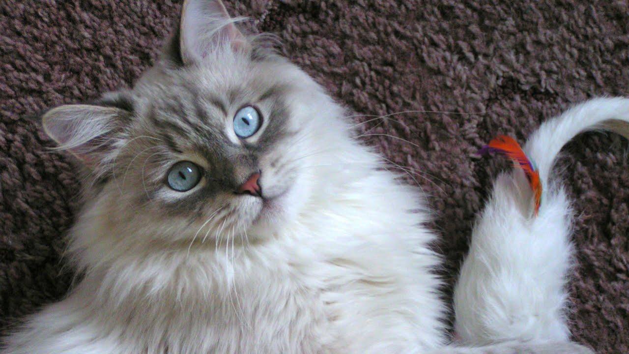 невская маскарадная. кошка фото