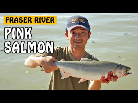 Fishing With Rod: Tidal Fraser Pink Salmon