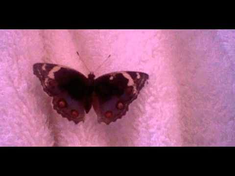 Blue Pansy - Junonia orithya