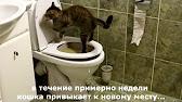 Курильский бобтейл Рикки ходит в туалет на унитаз Kurilian Bobtail .