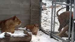 Dobi Meets His Lion Cubs at the Saskatoon Forestry Farm Park & Zoo
