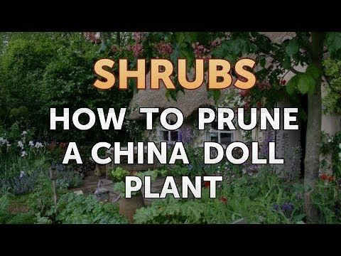 How To Prune A China Doll Plant Youtube