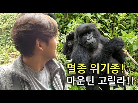 [World Travel - Rwanda] 멸종 위기종인 마운틴 고릴라를 보다!!!(야생 고릴라야!!!)