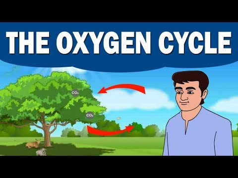 The Oxygen Cycle   Environmental Science   Home Revise   Biology