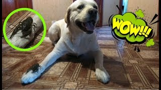 Реакция собаки на раков. Лабрадор держит рака на голове. Приколы с лабрадором.