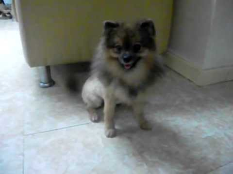 "Pomeranian Lion Cut, our pom ""Twila"" :) - YouTubeWhite Pomeranian Lion Cut"