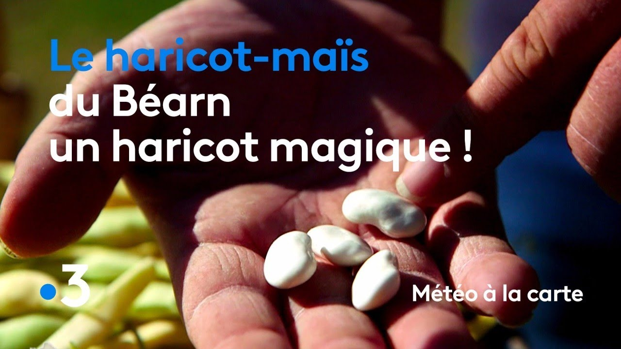 Le haricot-maïs du Béarn, un haricot magique !
