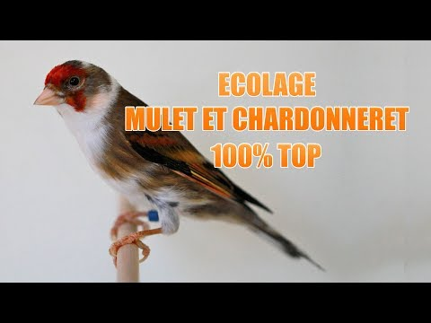 MP3 CHARDONNERET TÉLÉCHARGER CHANT