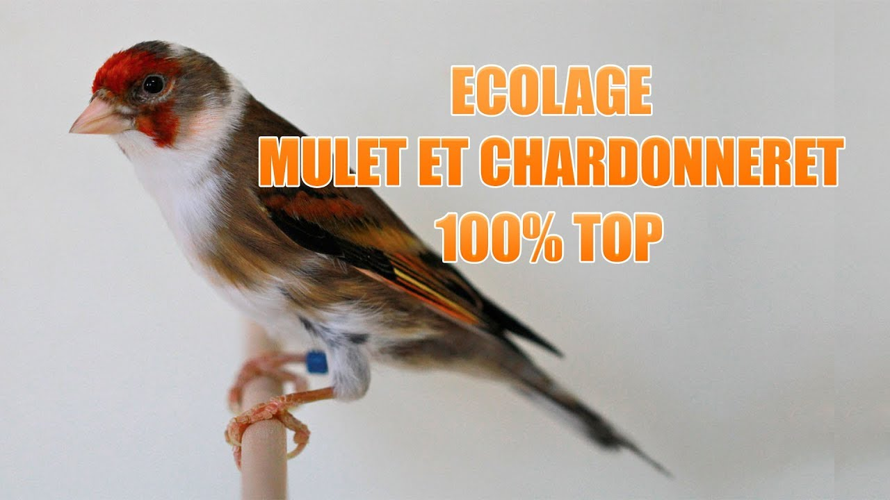 chant mulet chardonneret mp3