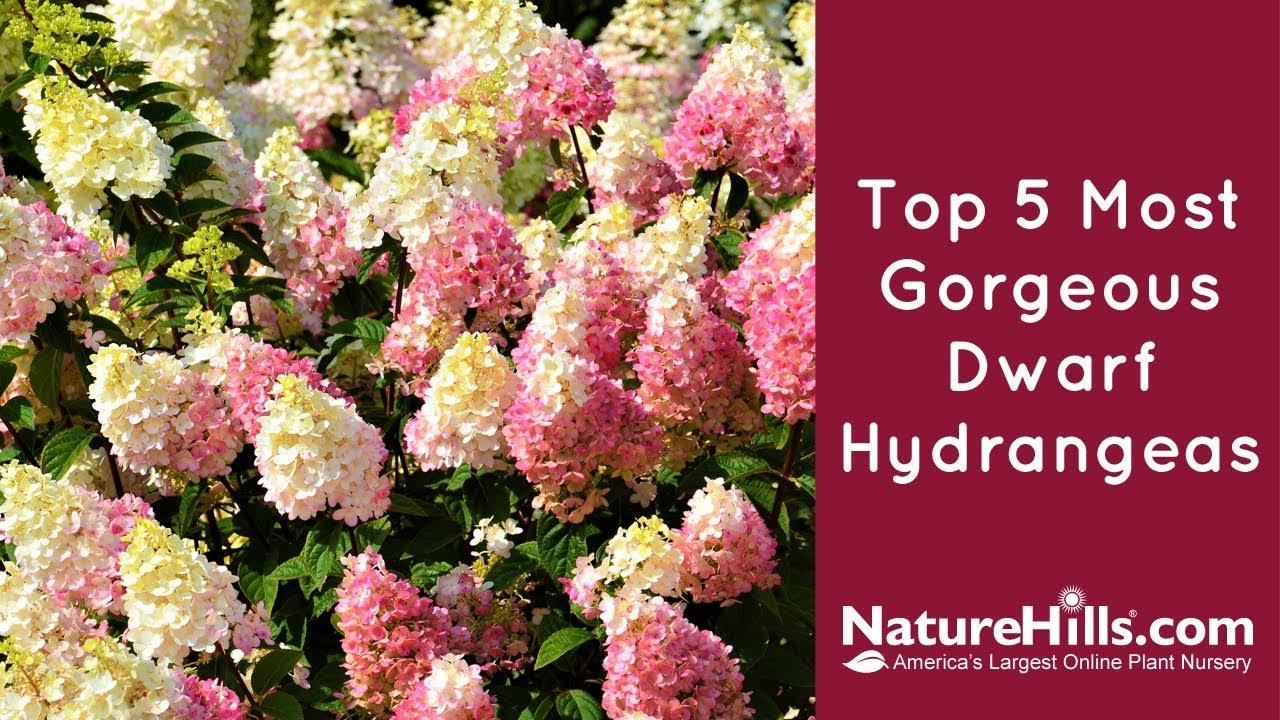 Top 5 Most Gorgeous Dwarf Hydrangeas Naturehills Com Youtube