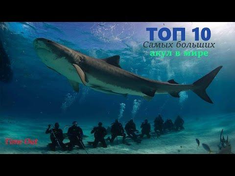 ТОП 10 Самых больших акул в мире
