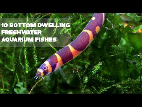 10 Bottom Dwelling Freshwater Aquarium Fishes | Animals Unlimited | Sameer Gudhate