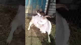 Коза Стрелка и кошка Дуся