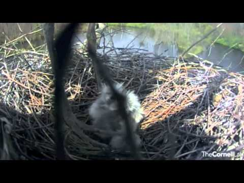 Four Chicks - Great Blue Heron Nest