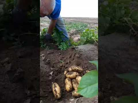 Королева Анна картофель Solana | картофель | семенной | королева | анна