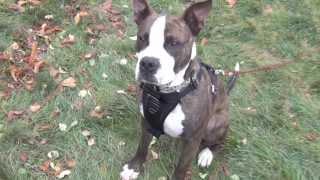 Chango Pit Bull American Staffordshire Terrier Rescue Ridge