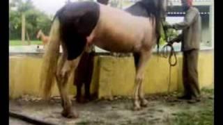 KATHIAWARI Breed Horse Bathing