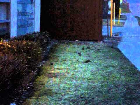 Rats In Oshawa