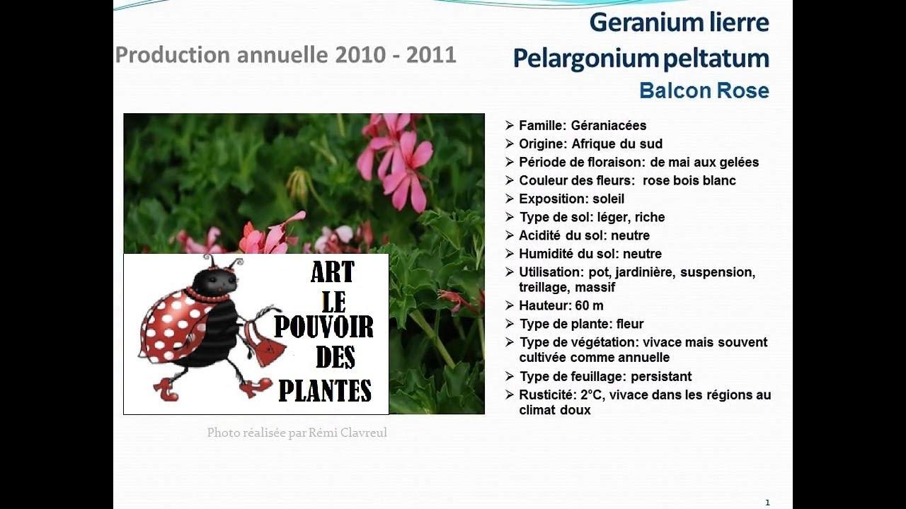 conseils jardinage geranium lierre pelargonium peltatum. Black Bedroom Furniture Sets. Home Design Ideas