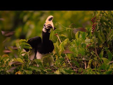 Hornbill Catches Bat Mid-Flight