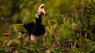 Hornbills Pluck Bats Mid-flight | Eden: Untamed Planet | BBC Earth