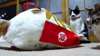 新年の運勢占う福猫レース、隙を突かれて1位を逃す