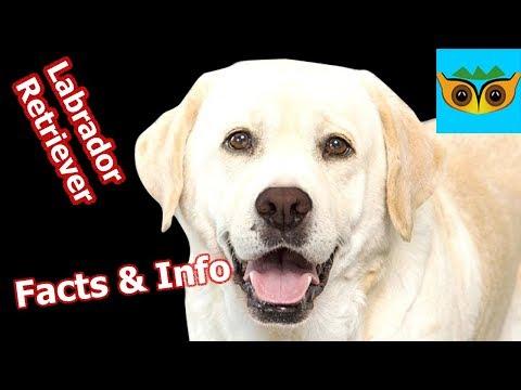 Labrador Retriever Information