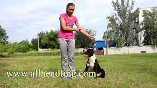 Секреты подготовки собаки к выставке - работа с ринговкой часть 2