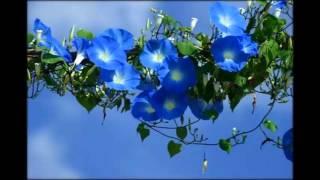 Цветок Лиана Комнатная Фото