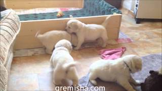 Golden Retriever Puppies Barking, Playing, Running...