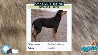 Smaland Hound  Everything Dog Breeds
