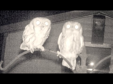 Amazing Screech Owl Mating Calls and Sounds