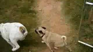 Pug Vs. Bulldog