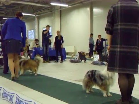 281115 Special Sheltie Show Females champ ClubChamp BB BOB BIS