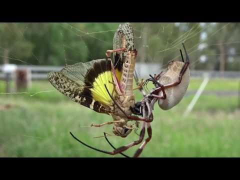 Golden Orb Weaving Spider (Nephila edulis)