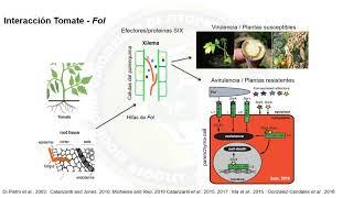 Fusarium oxysporum - PhD Jaime Simbaqueba
