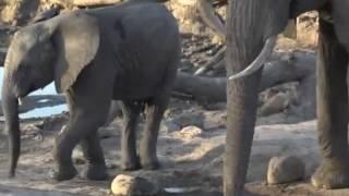 Słonie  - świat zwierząt Afryki ,, Safari