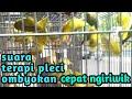 Terapi Pleci Ombyokan Agar Cepat Ngiriwik Suara Burung  Mp3 - Mp4 Download