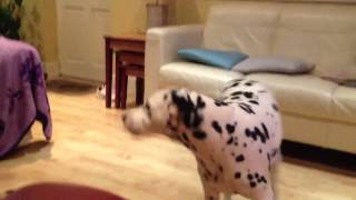 Lucie The Dalmatian Telling Us Its Dinner Time