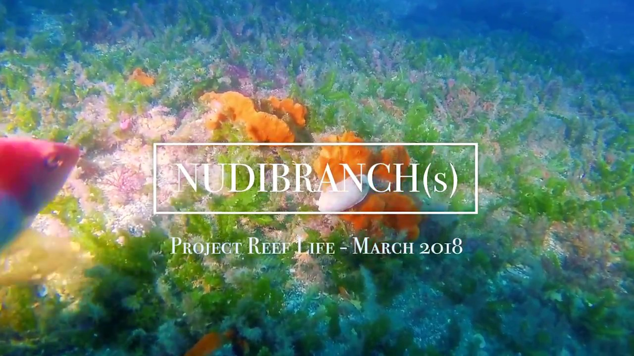 NUDIBRANCH (s) // PROJECT REEF LIFE - 03/18