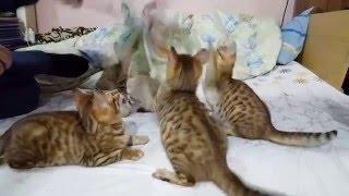 Đàn mèo Bengal đẹp tại Hà Nội
