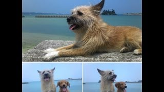ハイサイ!愛犬サンシンちゃんとサンバちゃんが日に日に仲良くなってき...