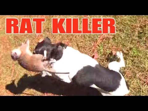 mini mouse chase mini the rat terrier kills a rat youtube. Black Bedroom Furniture Sets. Home Design Ideas
