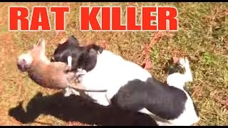 Mini Mouse Chase. Mini The Rat Terrier Kills A Rat!