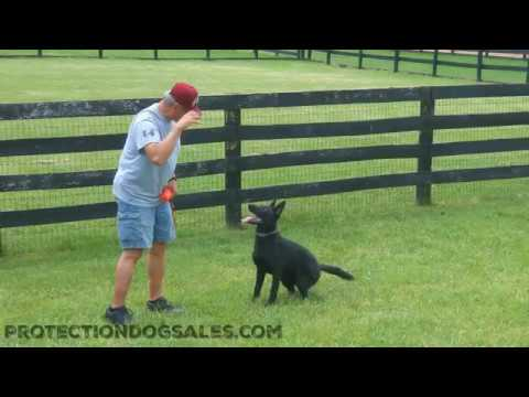 Down On The Farm W/Pixie 7 Mo's German Shepherd Professionally Trained For Sale